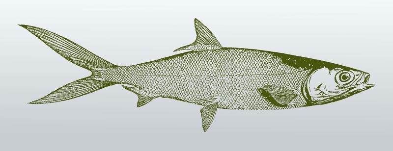 Milkfish Bangus Stock Illustrations.