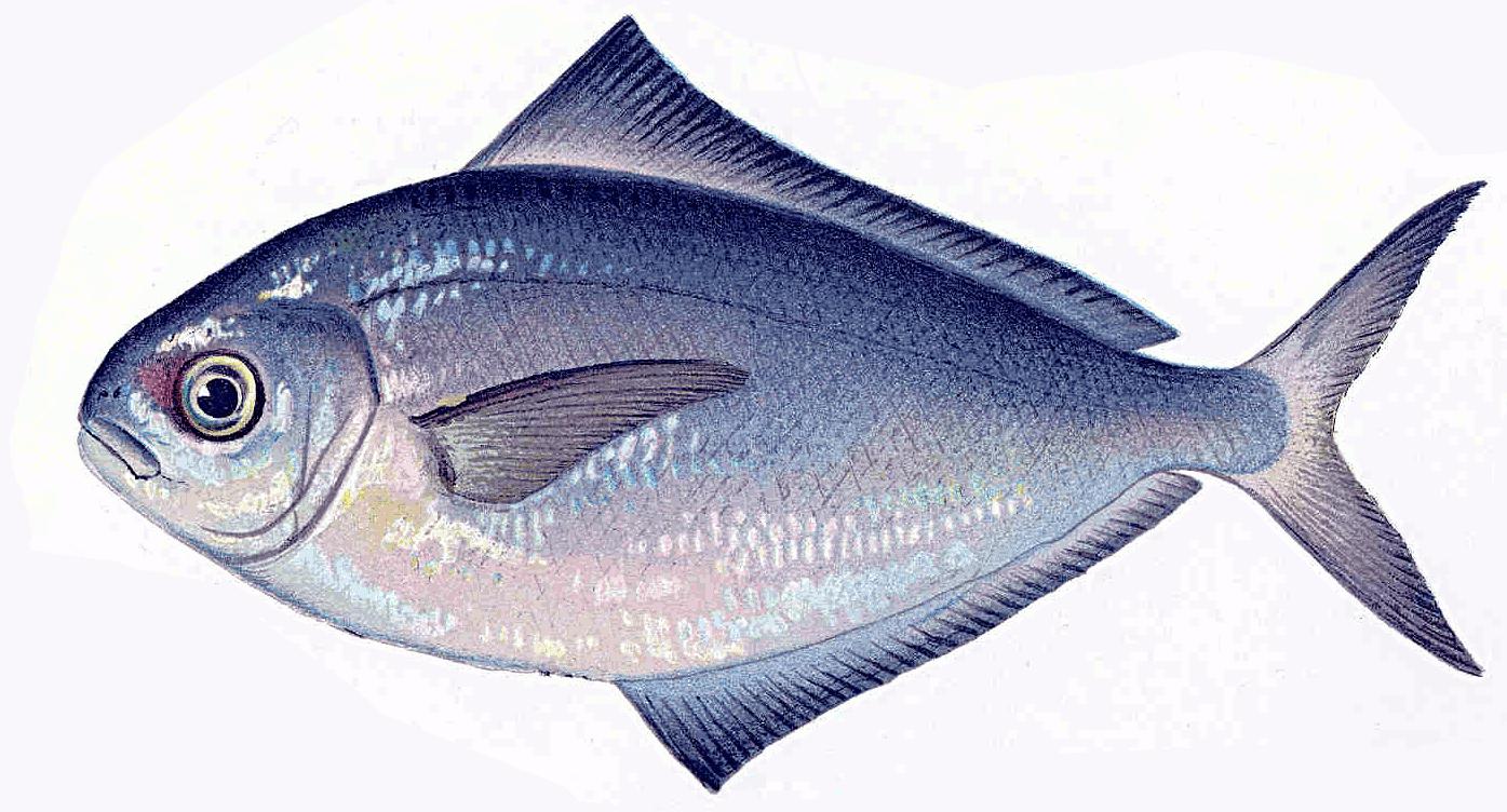 milkfish clipart.