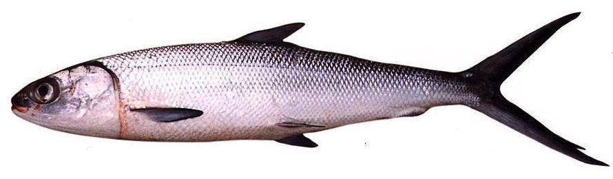Milkfish.
