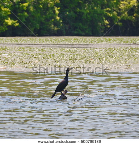 Phalacrocoracidae Stock Photos, Royalty.