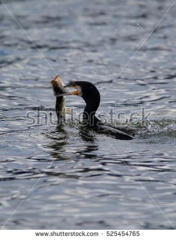 Cormorant Fish Stock Photos, Royalty.