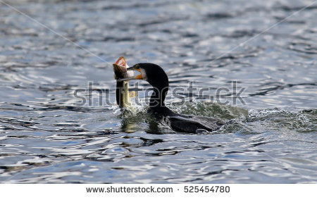 Cormorant Fish Stock Photos, Royalty.