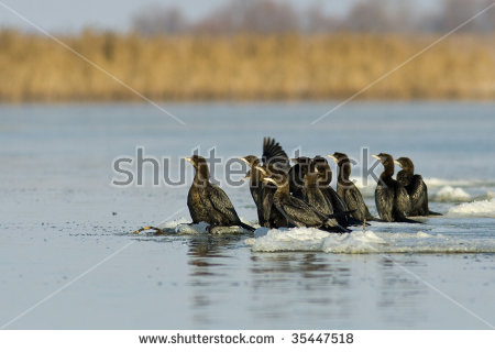 Pygmy Cormorant Stock Photos, Royalty.