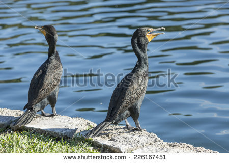 Phalacrocorax Colony Cormorant Great Stock Photos, Royalty.