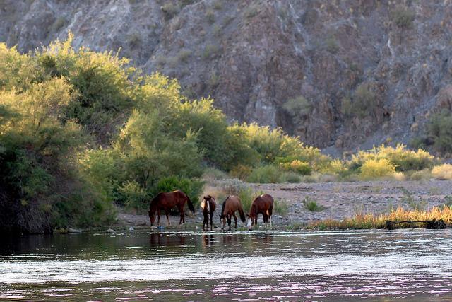 Salt River Wild Horses Shot, One Killed.