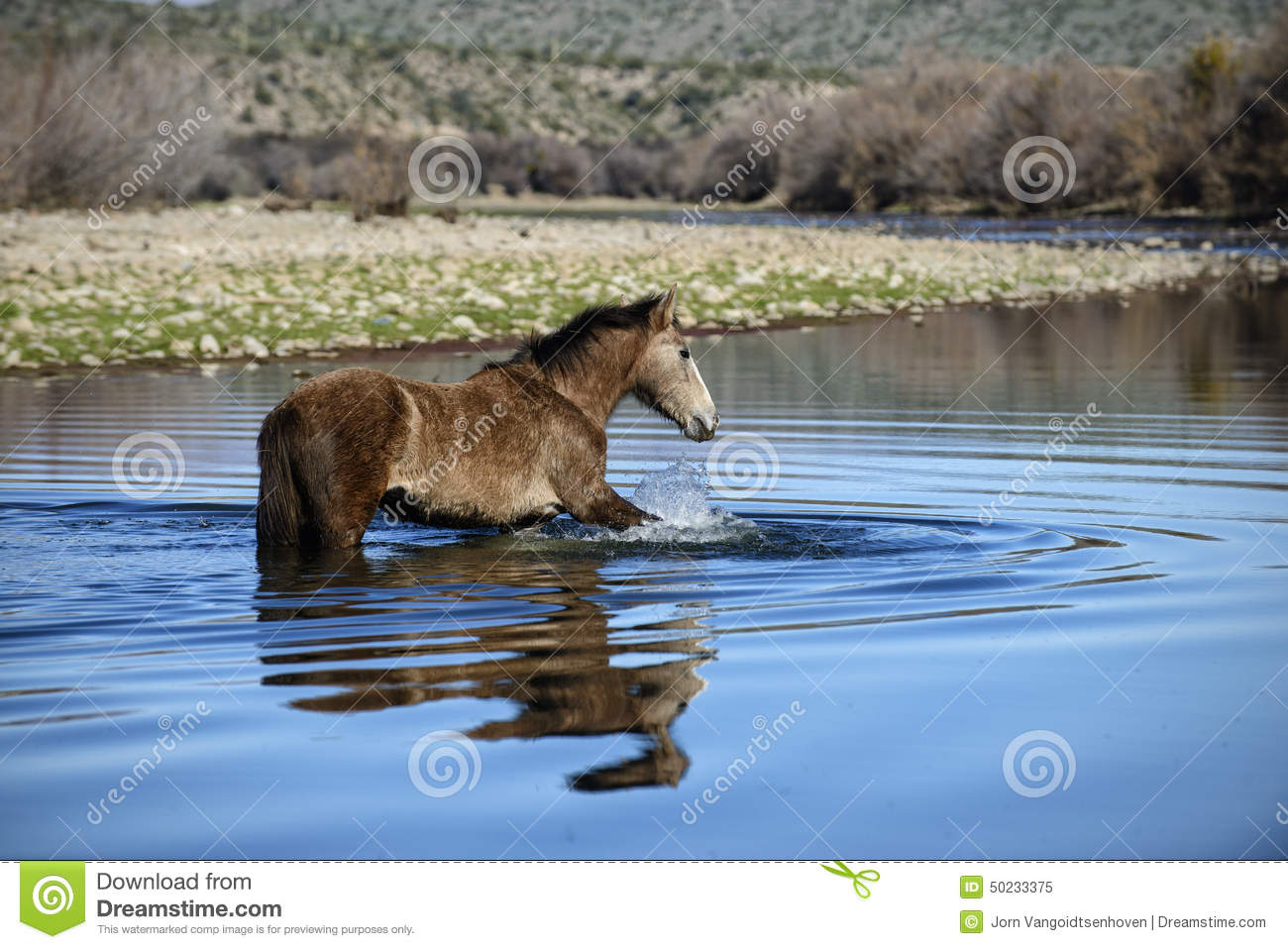 Salt River Wild Horses Stock Photo.