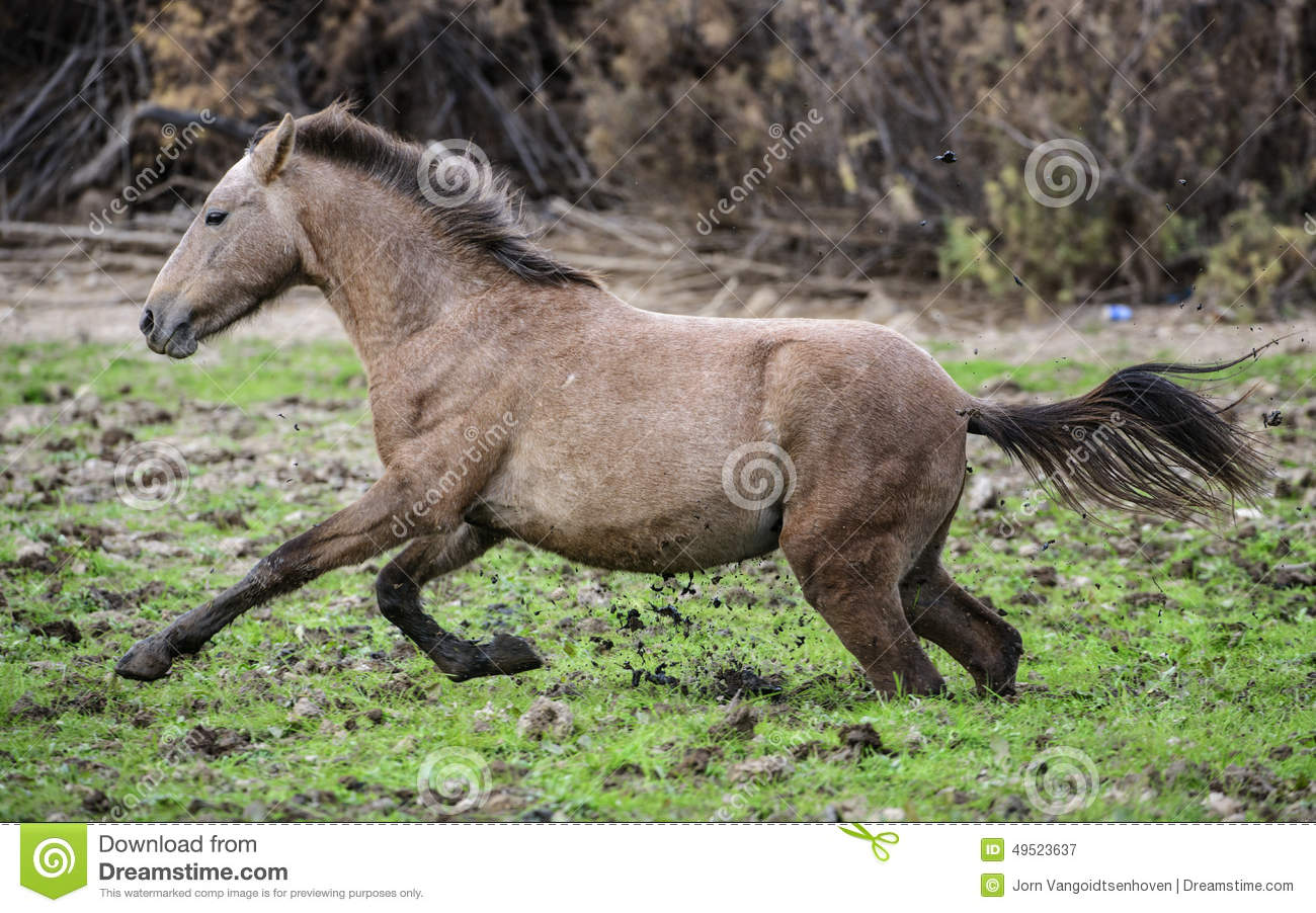 Salt River Wild Horse Muddy Escape Stock Photo.