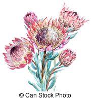 Banksia Vector Clip Art Illustrations. 17 Banksia clipart EPS.