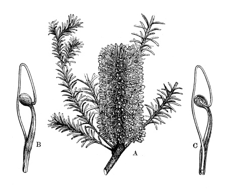 Banksia Clip Art, Vector Images & Illustrations.