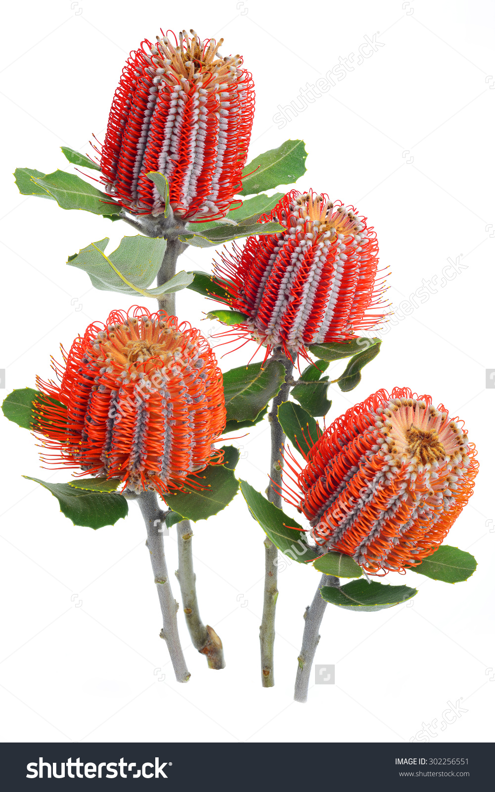 Closed Banksia Coccinea Flowers Leaves Isolated Stock Photo.