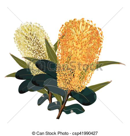 Vector Illustration of Yellow Banksia Flowers.