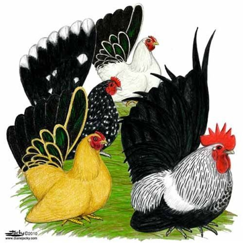 1000+ images about chickens on Pinterest.