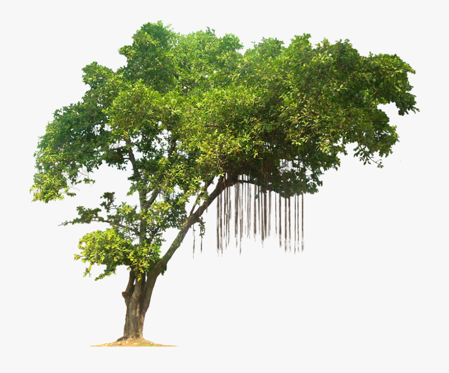 Banyan Tree Clipart Library Stock.