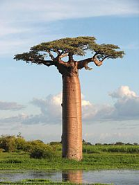 1000+ images about baobab on Pinterest.