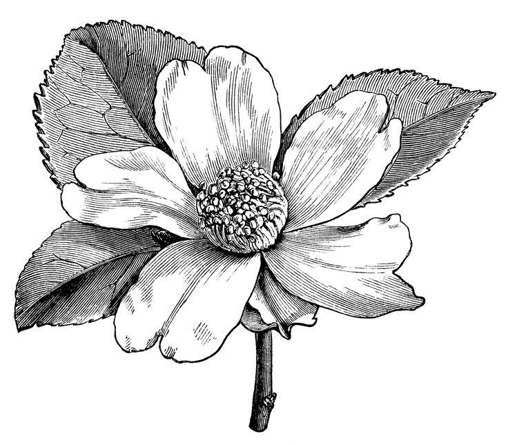1000+ ideas about Flower Illustrations on Pinterest.