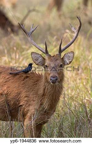 Stock Images of Barasingha (Rucervus duvaucelii) with Black Drongo.