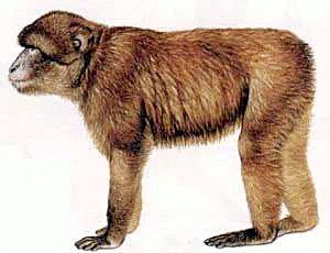 Free Barbary Ape Clipart, 1 page of Public Domain Clip Art.