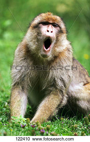 Stock Photography of barbary ape / macaque.