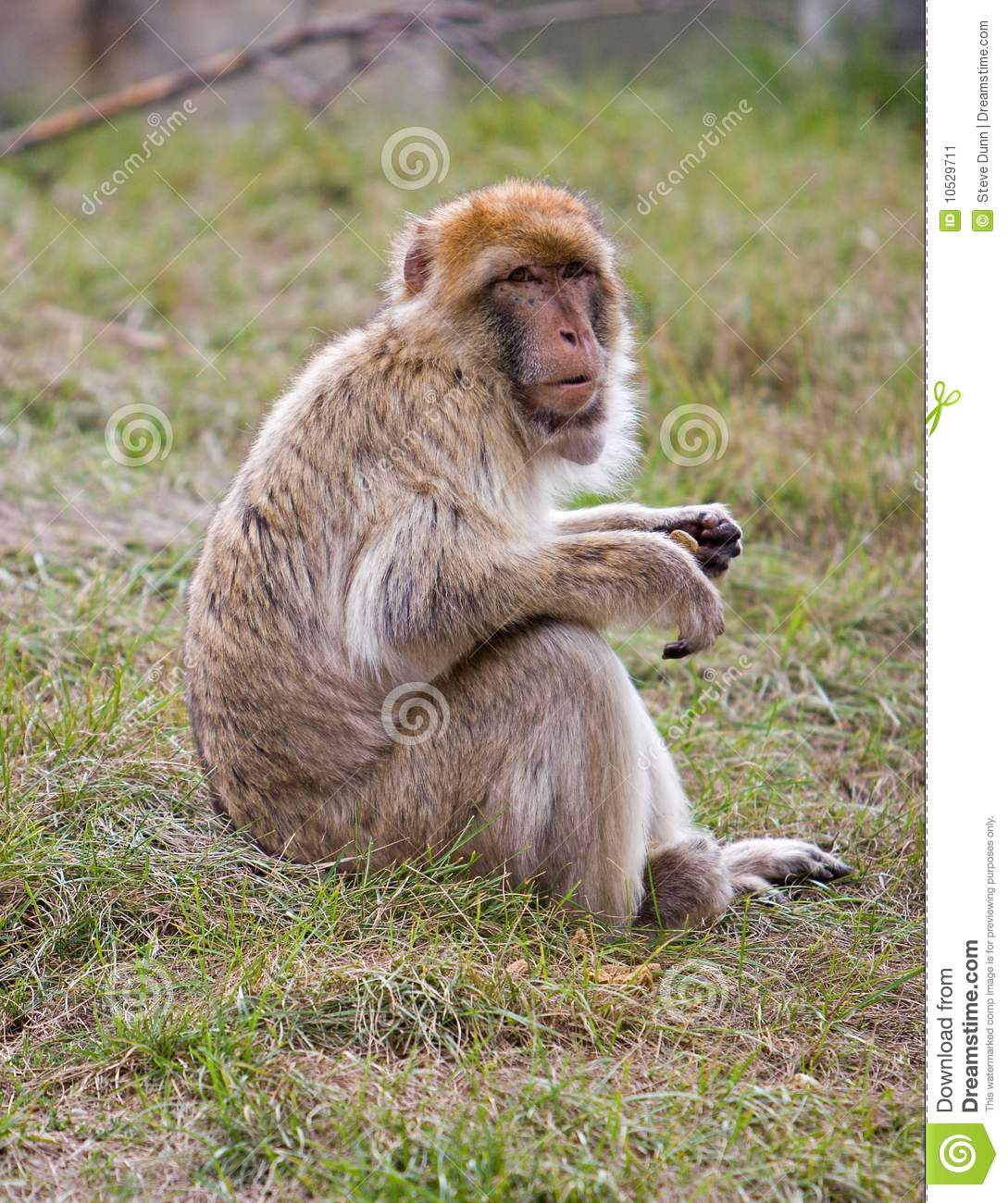 Barbary Ape Sitting On Grass Stock Image.
