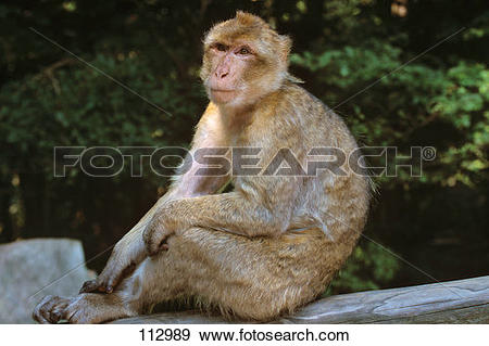 Stock Photograph of ape, barbary.