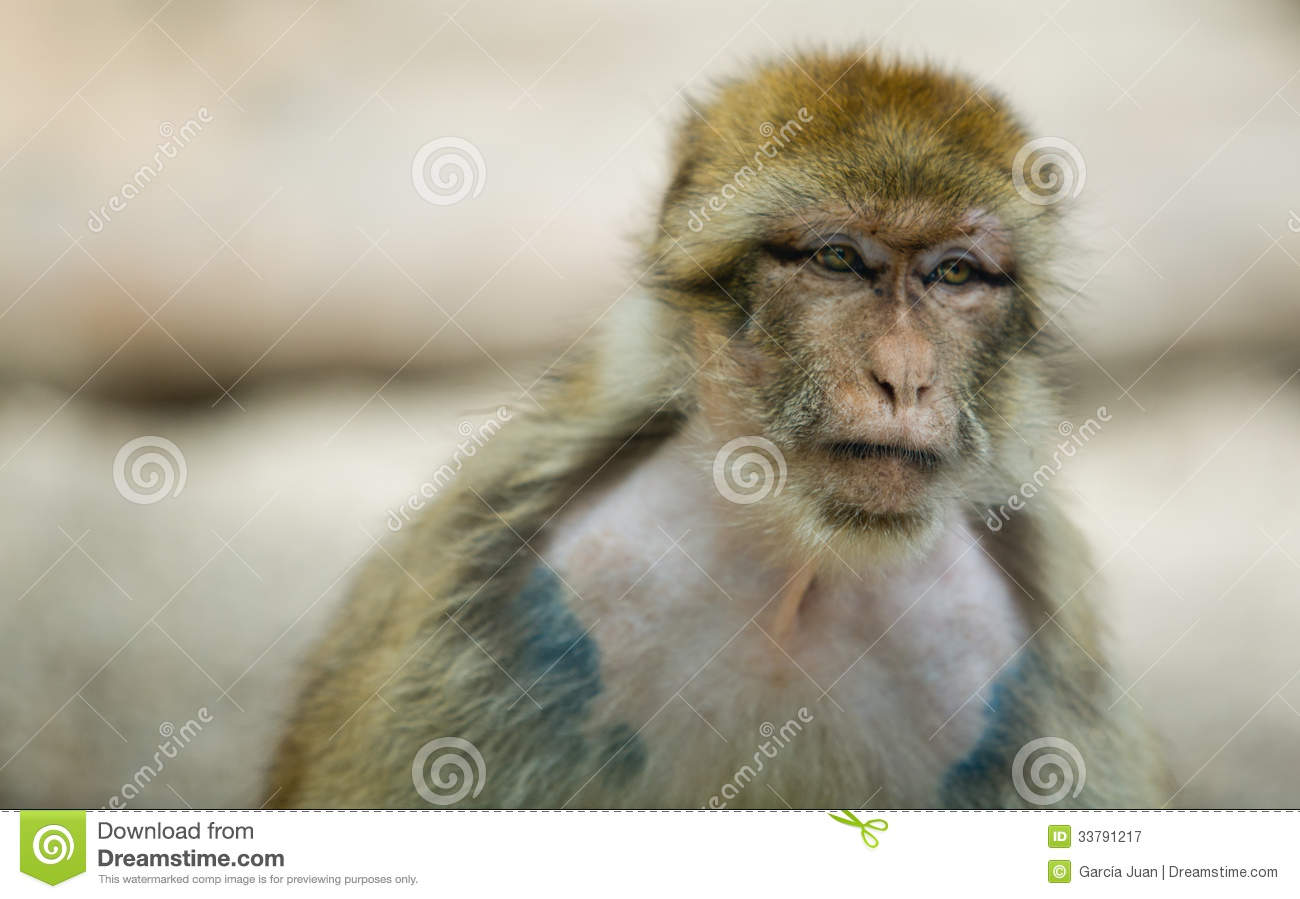 Female Barbary Macaque Royalty Free Stock Photography.