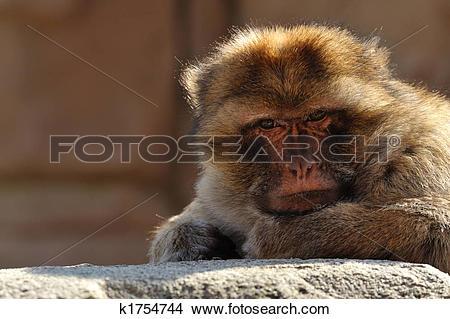 Stock Photo of barbary ape k1754744.