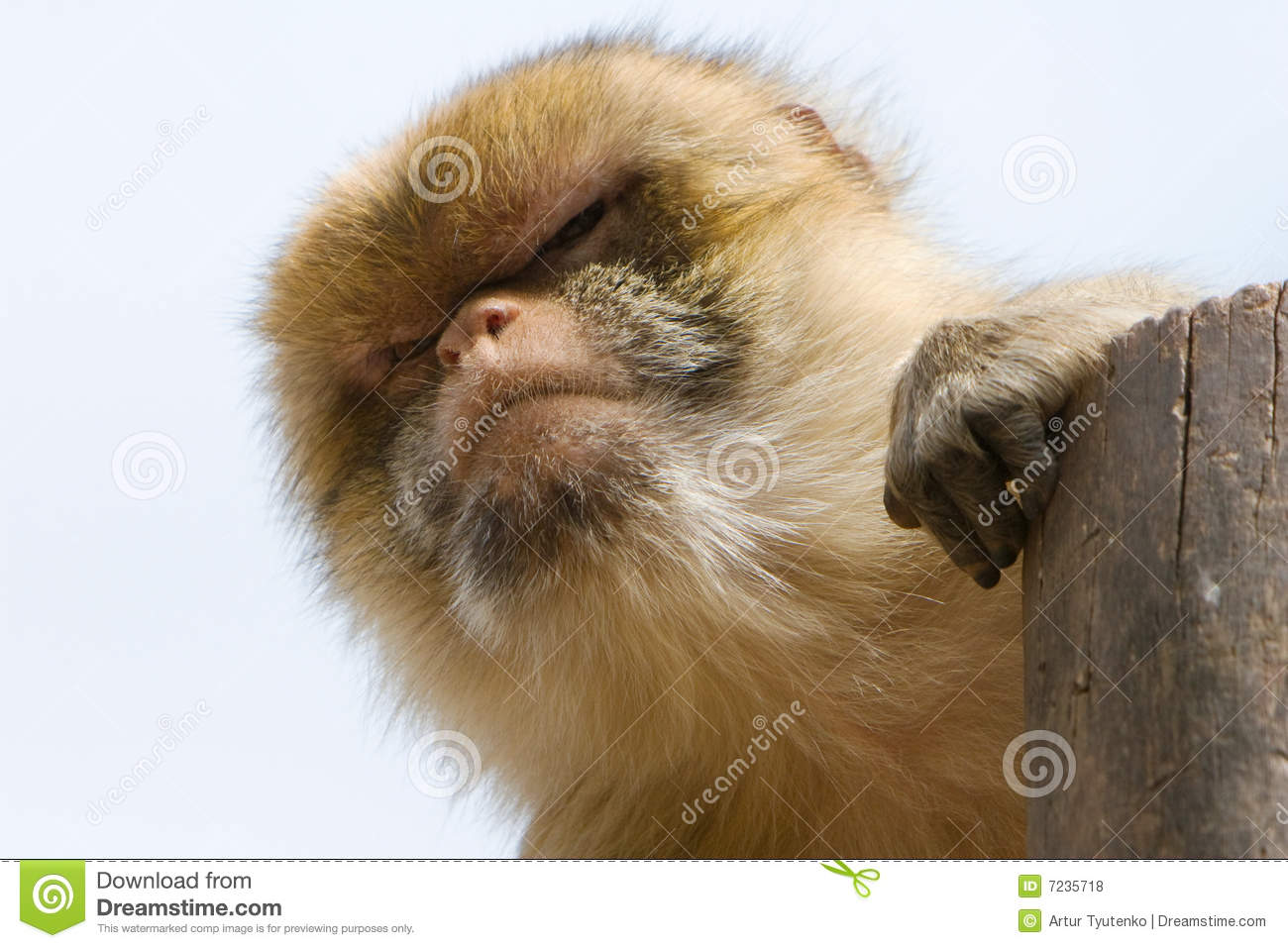 Male Barbary Macaque (Macacus Sylvanus) Royalty Free Stock Photos.