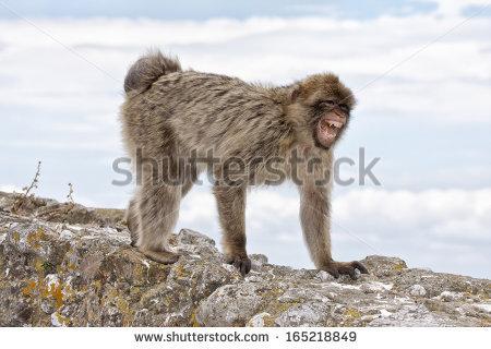 Barbary Ape Rock Stock Photos, Royalty.
