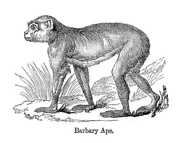 Barbary Apes Clip Art, Vector Images & Illustrations.