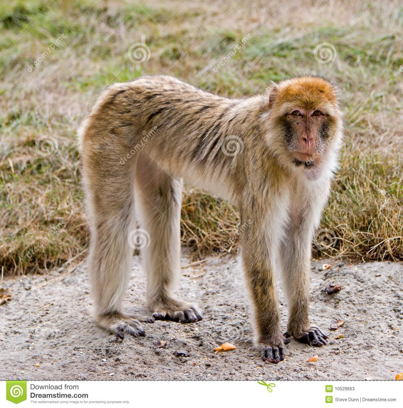 Barbary Ape Standing On Concrete Stock Photos.