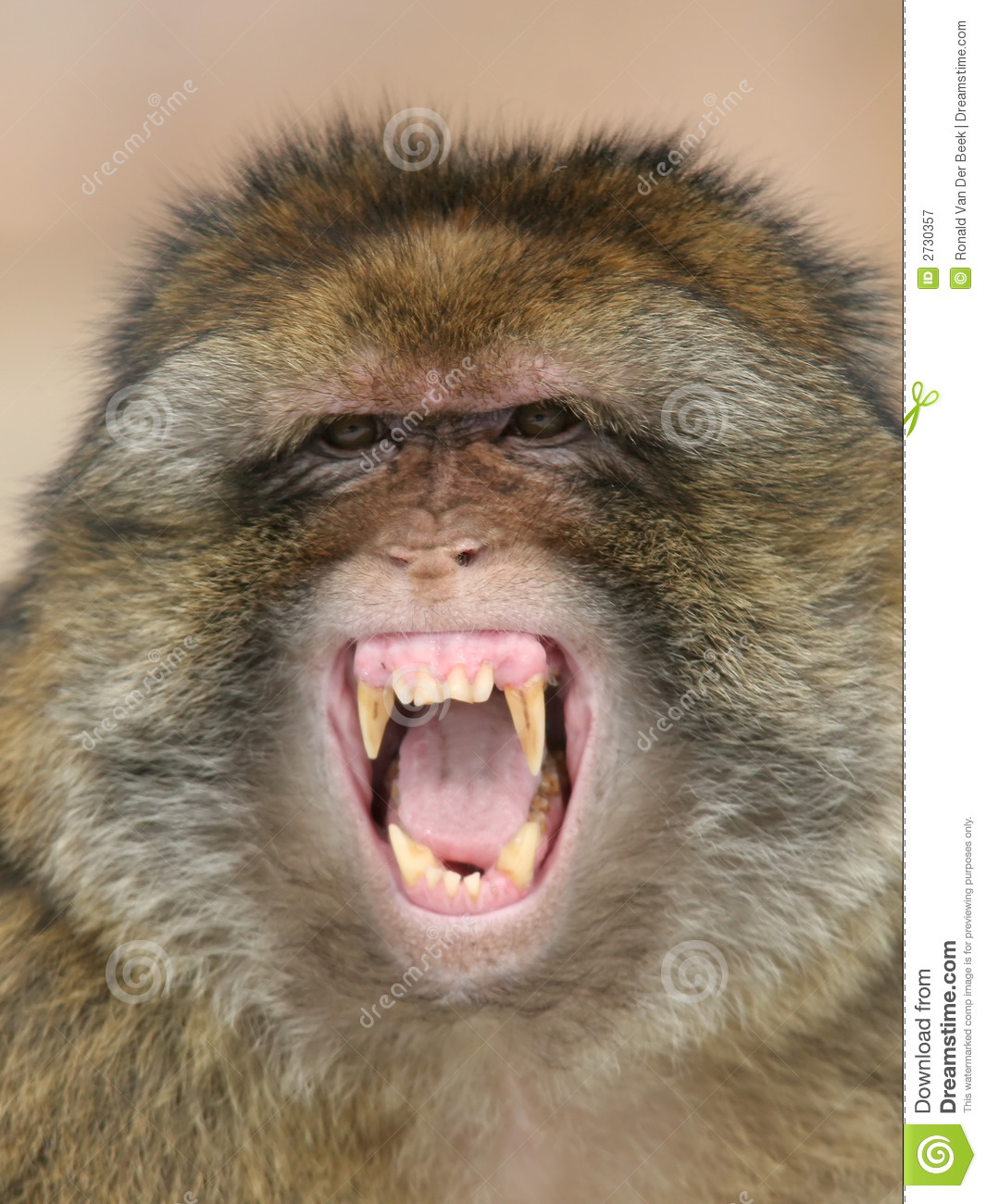 Barbary Macaque Royalty Free Stock Photography.