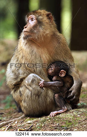 Stock Photo of barbary ape / macaque.