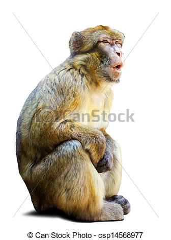 Picture of Barbary macaque over white background.