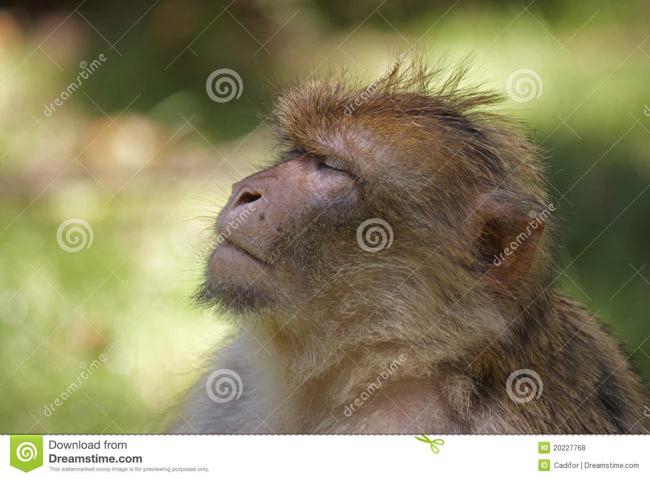 Barbary Macaque Royalty Free Stock Photos.
