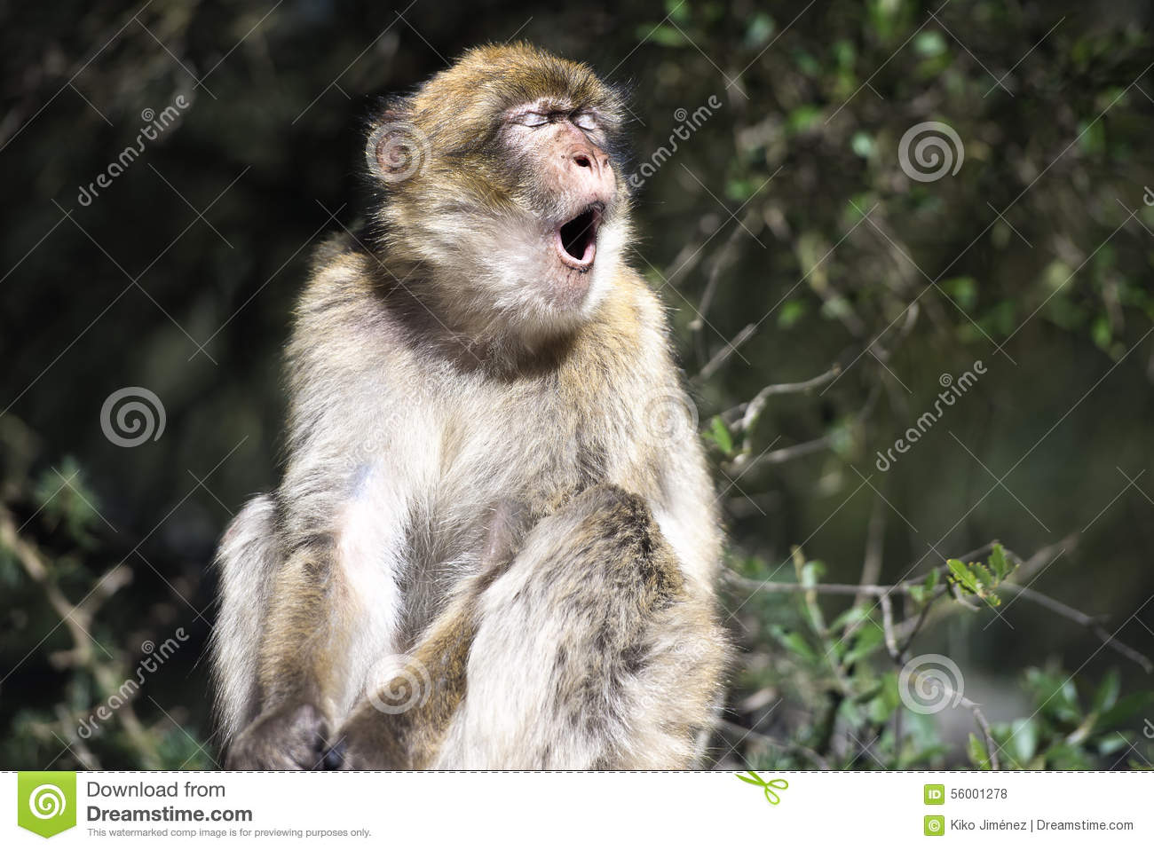 Barbary Macaque Yawn Stock Photo.