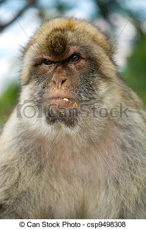 Pictures of Gibraltar monkey.