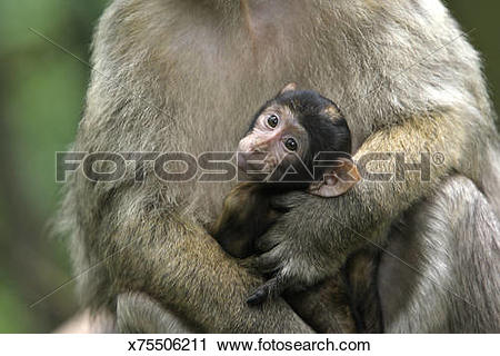 Stock Photography of Barbary Macaque x75506211.
