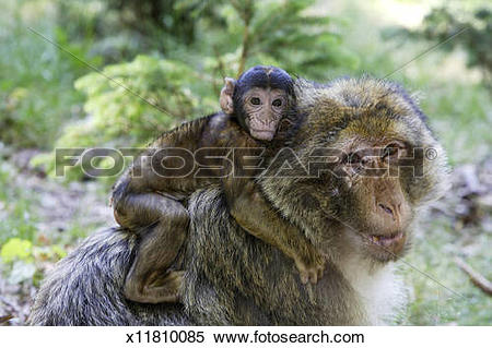 Stock Image of Barbary Macaque x11810085.