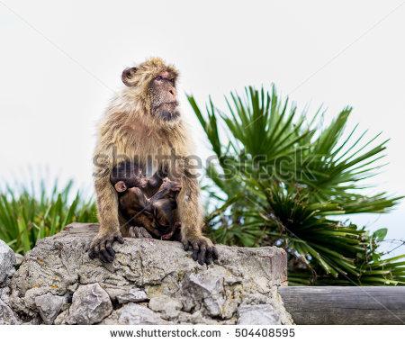 Wild Macaque Stock Photos, Royalty.