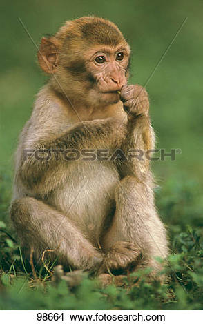 Stock Photo of Barbary Macaque.