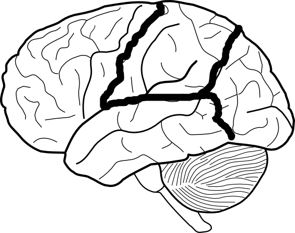 Brain Diagram Unlabeled.