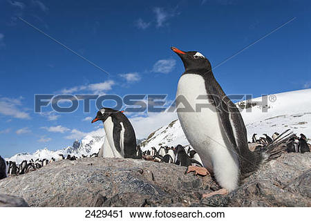Stock Photography of Antarctica, Cuverville Island, Gentoo.