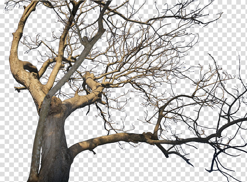 Death Tree pre cut, brown bare tree transparent background.