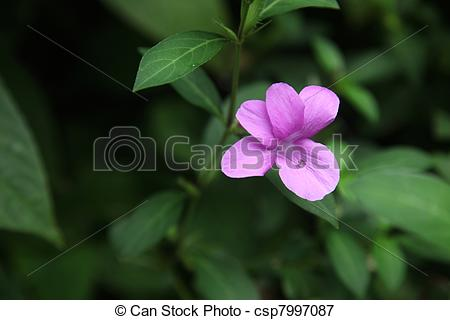 Picture of Barleria cristata, also called Philippine violet.