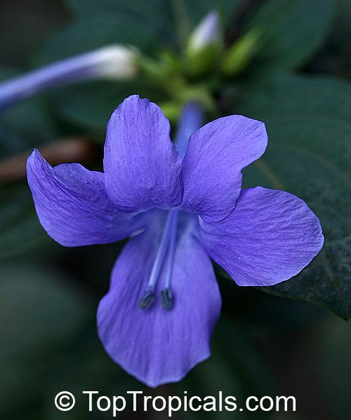 1000+ images about Philippine Flowers on Pinterest.