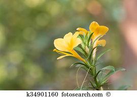 Barleria prionitis Stock Photos and Images. 5 barleria prionitis.