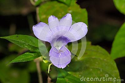 Philippine Violet Flower Stock Photo.