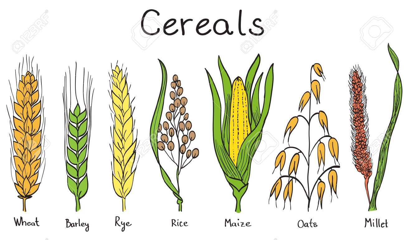 Barley plant clipart.