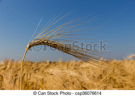 Stock Photography of barley field before harvest.