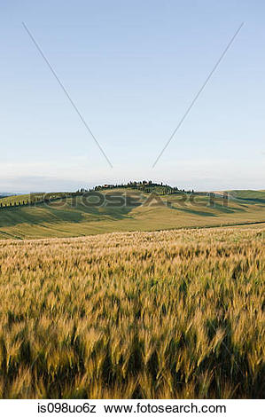 Pictures of Barley field in evening light near Siena, Tuscany.